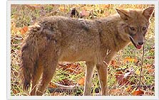 Jackal - Sajjangarh Wildlife sanctuary