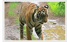 Tiger sighting in Ranthambore National Park